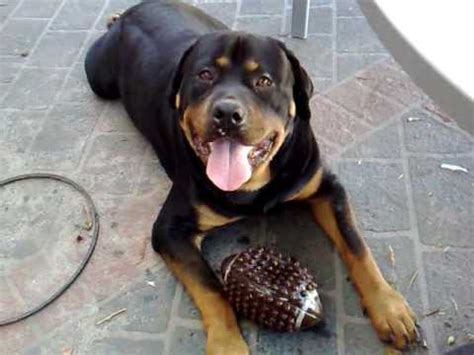 my rottweiler quot thor quot rottweiler 6 here you can my footy