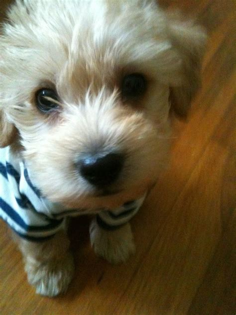yorkie poo puppies for adoption in illinois 1000 ideas about yorkie poo puppies on yorkie puppies for sale and