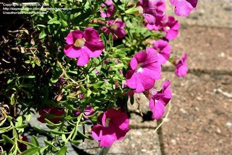 top 28 calibrachoa australia plantfiles pictures calibrachoa million bells gardensonline