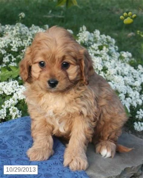 cavapoo puppies for sale ny 25 best ideas about cavapoo puppies for sale on cavapoo for sale