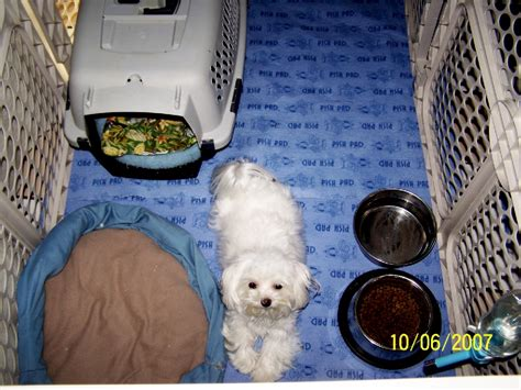 puppy whining in crate at how to stop puppy whining and howling when crate aussiedoodle and