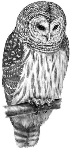barred owl coloring page barred owl coloring sheet coloring sheets pinterest owl