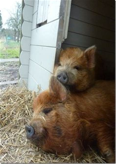 kune colors preparation these are kunekune pigs a small breed of pig from new