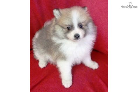pomeranian for sale in sc pomeranian puppy for sale near charleston south carolina a2d46527 fd91