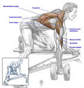 what muscles does benching work muscles used in dumbbell rows bodybuilding pinterest