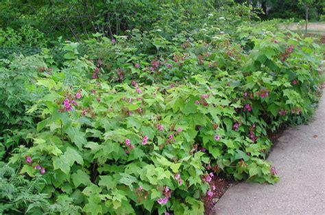 flowering raspberry shrub plant profile purple flowering raspberry a summer