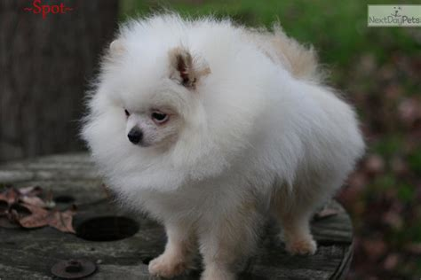 pomeranian for sale in portland oregon pomeranian puppy for sale near portland oregon e92c122a eec1