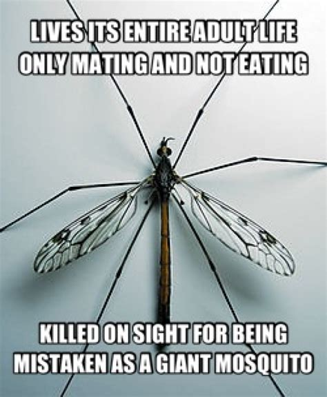 Fly Meme - misunderstood crane fly meme guy