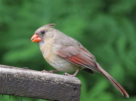 northern cardinal birdwatching