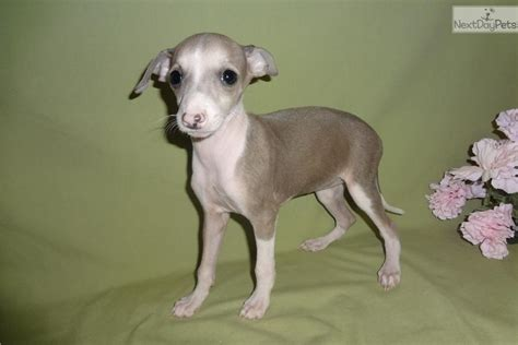 greyhound puppy for sale italian greyhound puppy for sale near springfield missouri 0721e8e3 bd41