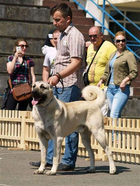 kangal puppies for sale puppies for sale kangal dogshows