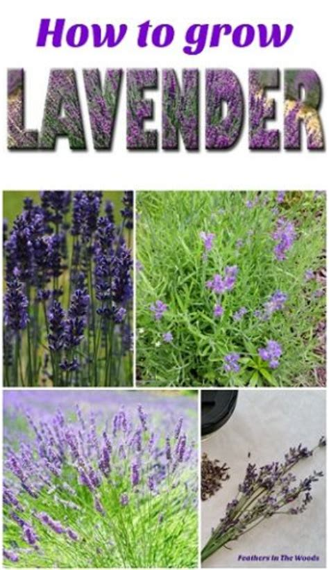 how to grow lavender homestead bloggers network