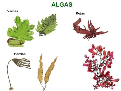 imagenes de algas pardas verdes y rojas c 233 lulas nueva