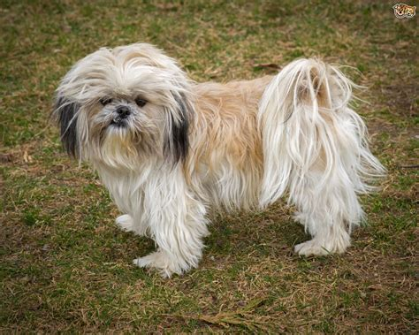 what is a shih tzu puppy shih tzu breed information buying advice photos and facts pets4homes