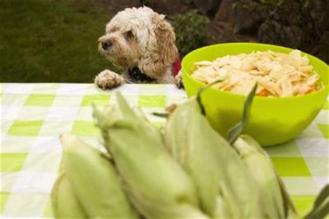 dogs corn on the cob can dogs eat corn on the cob care the daily puppy