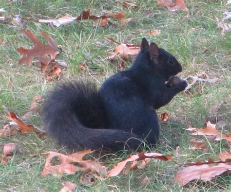cannundrums black squirrel