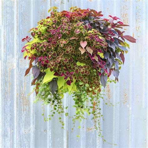 foliage plants for hanging baskets 27 best images about hanging baskets on west