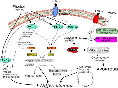 c protein kinase protein kinase c experiments
