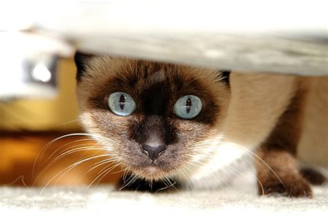 new cat hiding under bed why does my cat hide under the bed cuteness