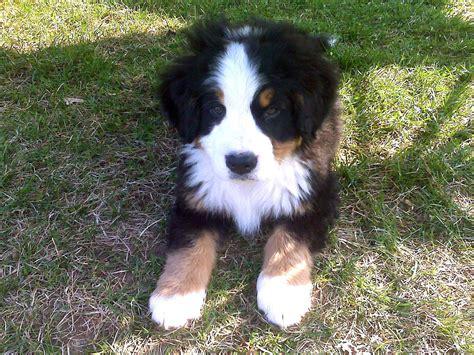 bernese mountain puppies wi original file 1 600 215 1 200 pixels file size 1 2 mb mime type image jpeg