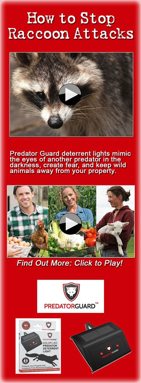 how to your to guard and attack best 25 raccoon attack ideas on