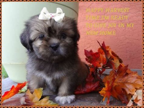 shih tzu for sale miami wow color shih tzu for sale in miami florida classified