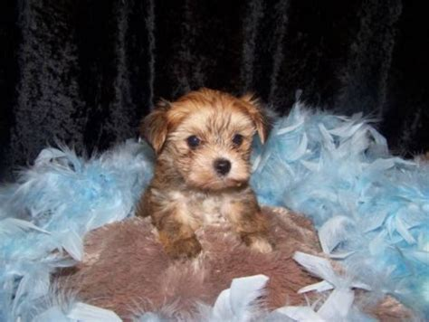 when are puppies fully grown wonderfull morkie puppies fully grown small for sale in st catharines ontario