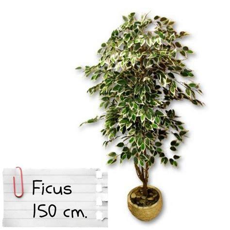 piante finte da giardino piante finte artificiali da arredo interno ficus benjamin