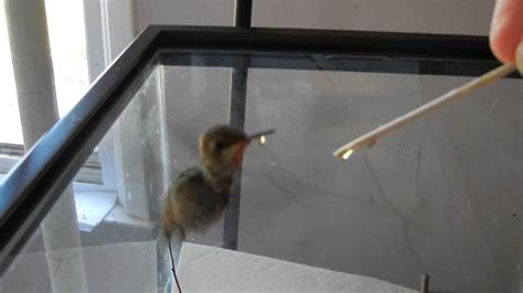 how to raise a baby hummingbird part 2 of 6 youtube