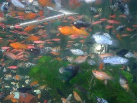 Jual Bibit Ikan Cupang Koi pusatnya benih dan bibit ikan hias air tawar murah