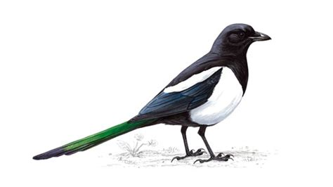 the rspb magpie