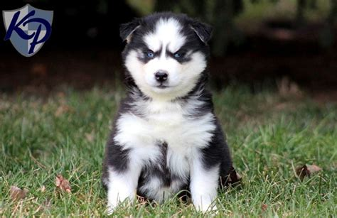 aussie siberian puppies for sale 25 best ideas about corgi husky mix on cutest mixes dogs husky