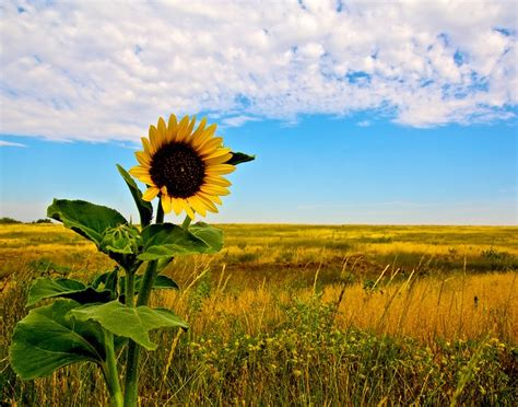 Search Kansas Kansas Prairie Search Kansas Sunflowers