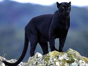 what color is a panther alli s alley wildlife wednesday concolor