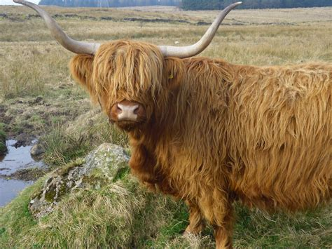 File:Highland Cattle, Gleniffer Braes Country Park ...