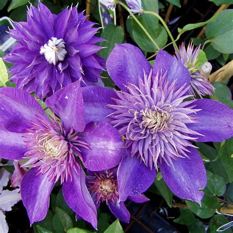 clematis wann pflanzen clematis multi blue plants