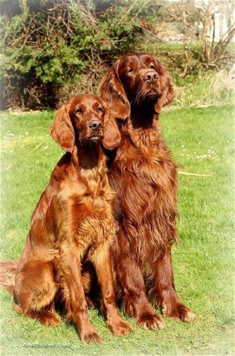 irish setter girl dog names pinterest the world s catalog of ideas