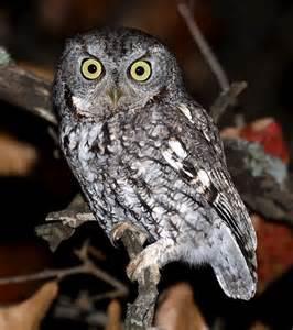 eastern screech owl birds owl pinterest