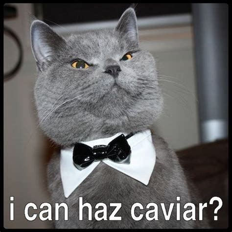 Fancy Cat Meme - caviar cat fancy meme on imgfave