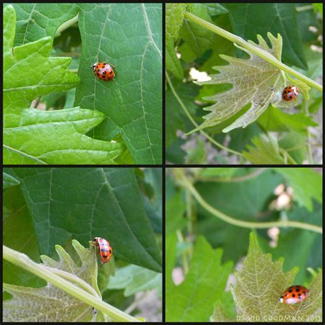 where to find ladybugs in your backyard how to find ladybugs in your backyard 28 images how to