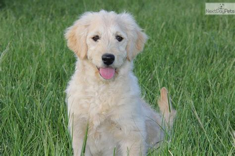 goldendoodle puppy dallas goldendoodle puppy for sale near dallas fort worth