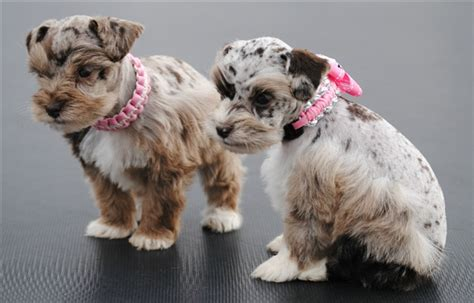 how many puppies are in an average litter litter size of miniature schnauzer many