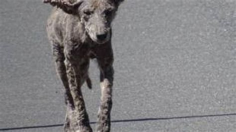 are coyotes dogs dogs roaming near chicago are infected coyotes warn fox news