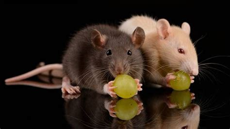 Would You Eat A Rat by Blackfish Producers Aim To Give Rats An Image Makeover
