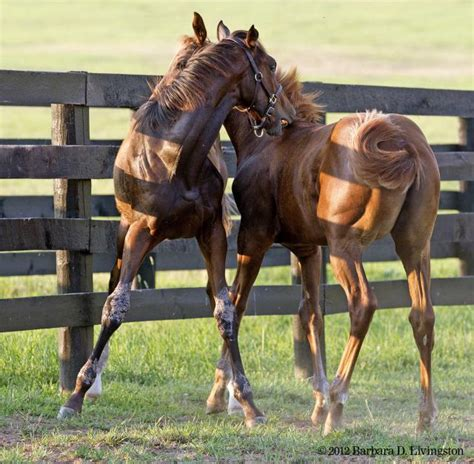 stonestreet rachel alexandra will not be bred in 2014 foals taco and chili 6 20 12 part 1 rachel alexandra at