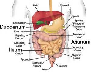 the function of the small intestine in the human digestive