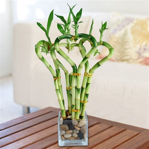 good house plant all my love bamboo lucky bamboo house plants