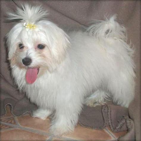 puppies for adoption in ohio i am offering a maltese puppy for adoption northeast ohio dogs for sale