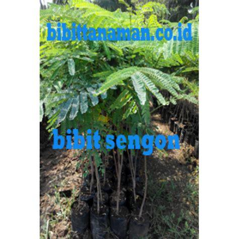 Bibit Sengon Buto jual bibit tanaman unggul murah di purworejo