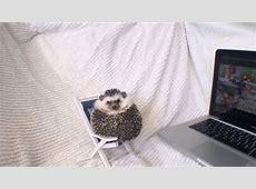 Mr.Pokee the Hedgehog meets Macgyver the Lizard (Talking ... Macgyver
